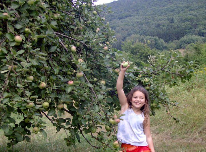 Ein Mädchen pflückt einen Apfel von einem Streuobstbaum im Pfälzerwald.