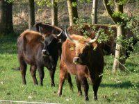 Gerichte vom Weiderindfleisch – regional und köstlich
