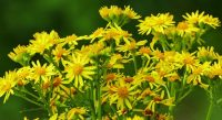 Giftige Pflanzen auf Wiesen und Weiden
