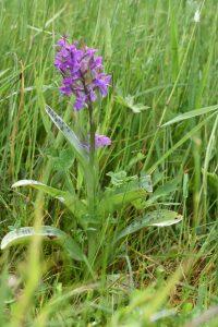 Orchideen im Pfälzerwald haben April-Trockenheit gut überstanden