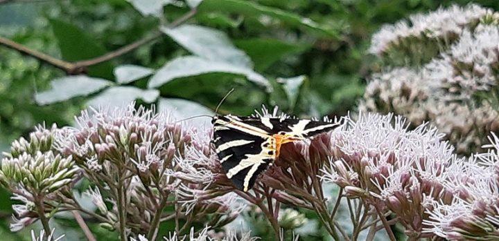 """Der seltene Schmetterling, die """"Spanische Flagge"""", nimmt Platz auf den Blüten des Wasserdost."""