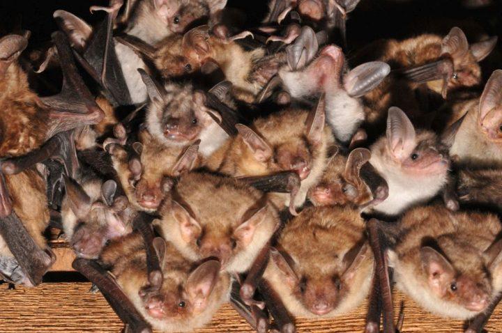 Fast flügge Jungtiere des Großen Mausohrs (Foto: Dr. Andreas Kiefer)