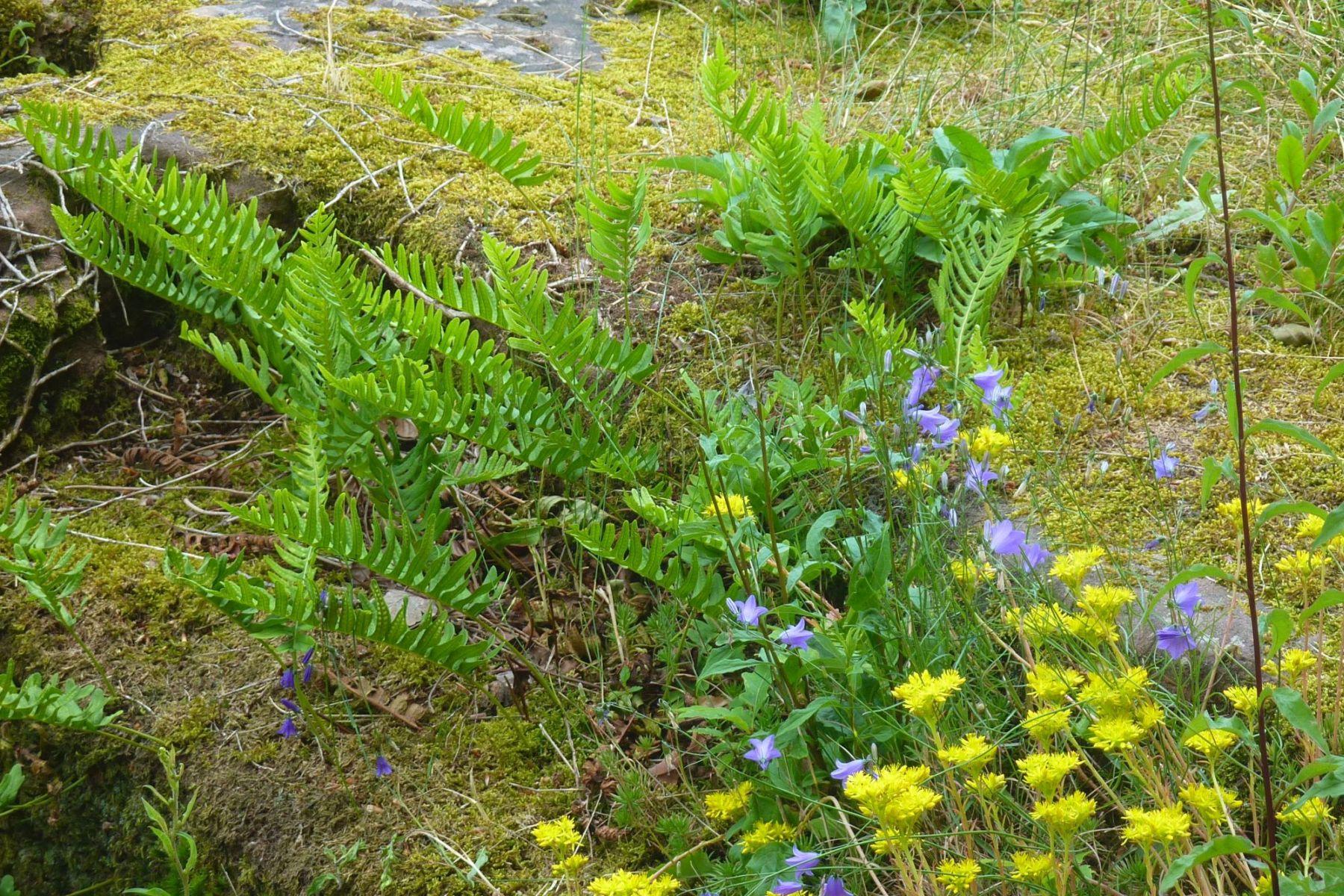 Typische Pflanzen an einer Trockenmauer