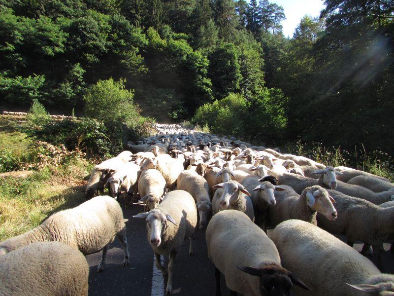 Eine Schafherde zieht durch den Pfälzerwald