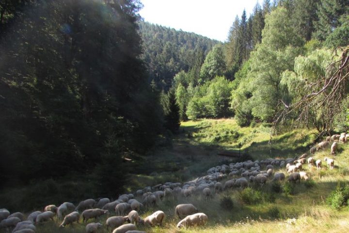 Eine Schafherde in einem Tal im Pfälzerwald