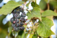 Wildpflanzen-Tipp: der Efeu