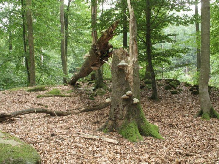 Das Bild zeigt einen umgestürzten Baum in einer Kernzone des Biosphärenreservats.