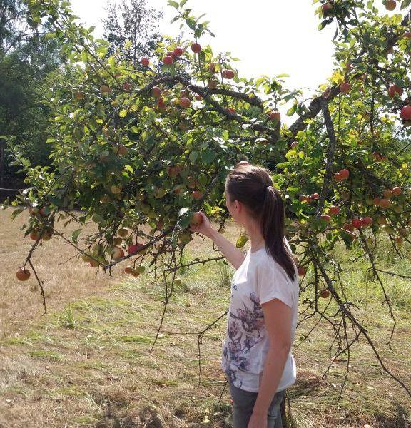 Eine Frau pflückt einen Apfel von einem Streuobstbaum