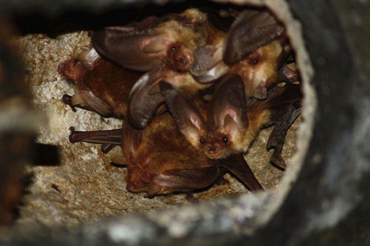 Mehrere Fledermäuse in ihrem Unterschlupf