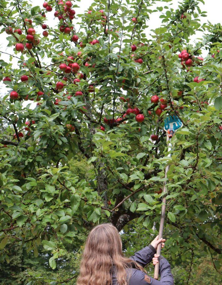 Das Bild zeigt eine Frau beim Ernten von Äpfeln