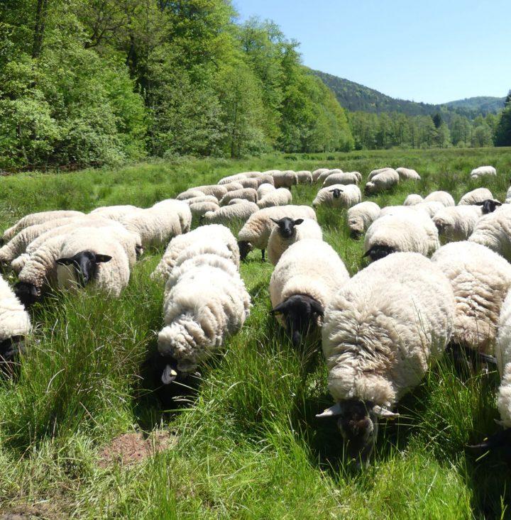 Das Bild zeigt eine Schafherde auf einer Weide, im Hintergrund sind Wald und blauer Himmel zu sehen