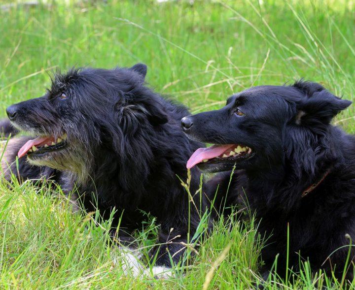 Das Bild zeigt zwei im Gras liegende Hirtenhunde