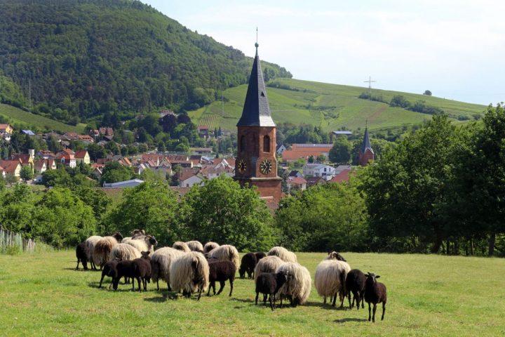 Das Bild zeigt eine Herde Schafe auf einer Wiese. Im Hintergrund sind ein Kirchturm, sowie Wald und Weinberge sichtbar.