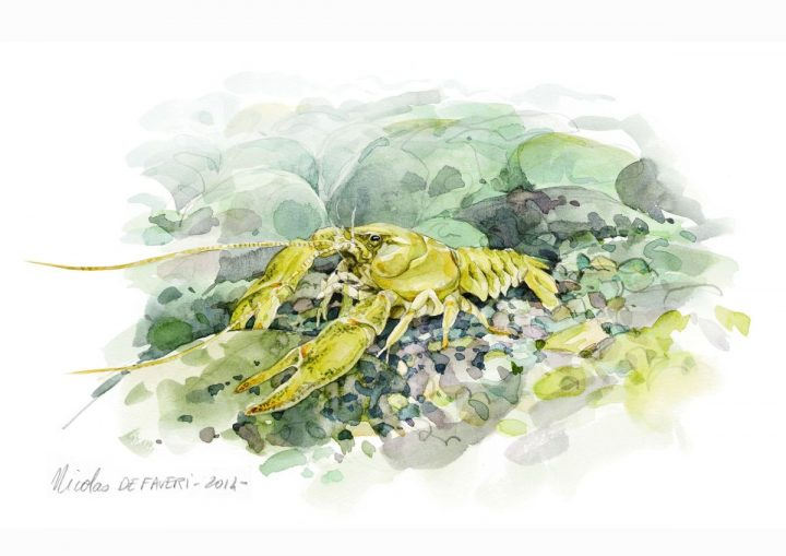 Die Aquarell-Illustration zeigt einen Steinkrebs