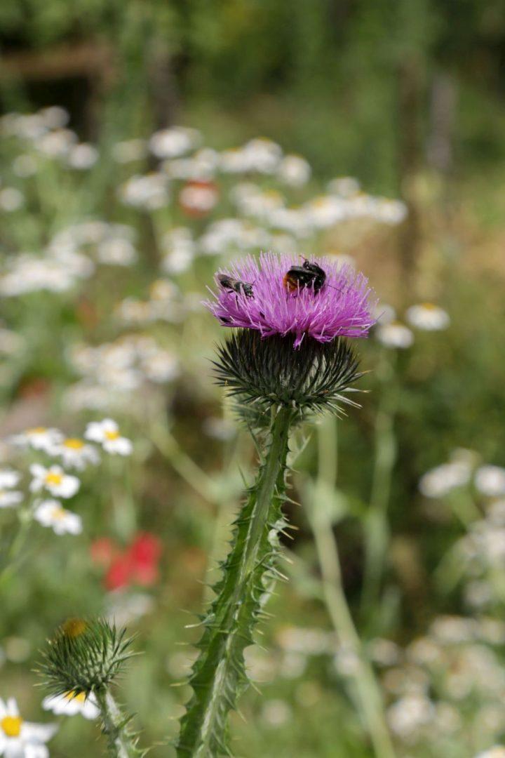 Das Bild zeigt eine Blüte, in der eine Biene sitzt