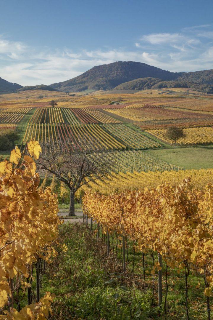 Das Bild zeigt den Blick über die herbstlichen Weinberge mit typisch gelb bis rot gefärbten Weinreben.