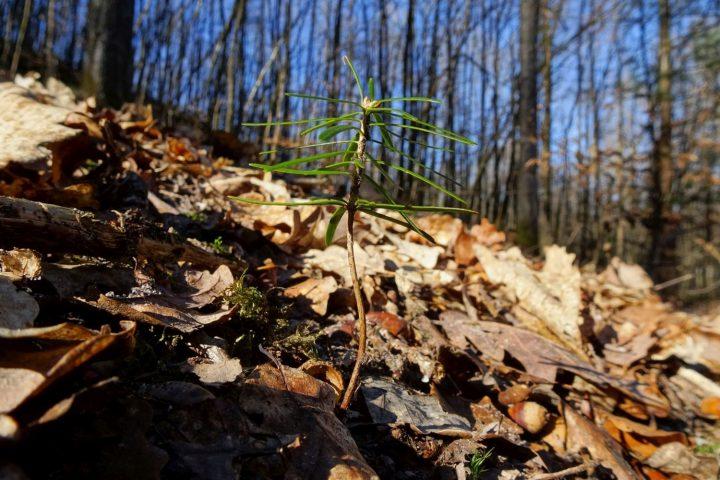 Das Bild zeigt eine kleine Tanne auf Waldboden voller Laub